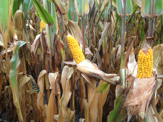 ABM Introduces New SabrEx for Corn Formulation: In-Furrow