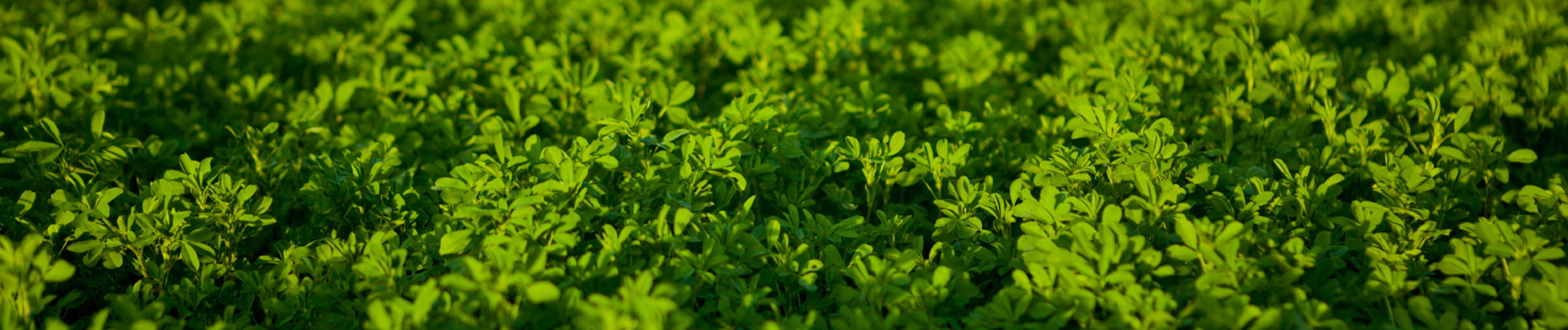 Why you want to over treat alfalfa.