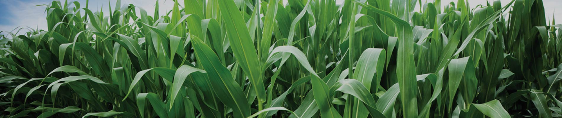 SabrEx® for Corn FAQ
