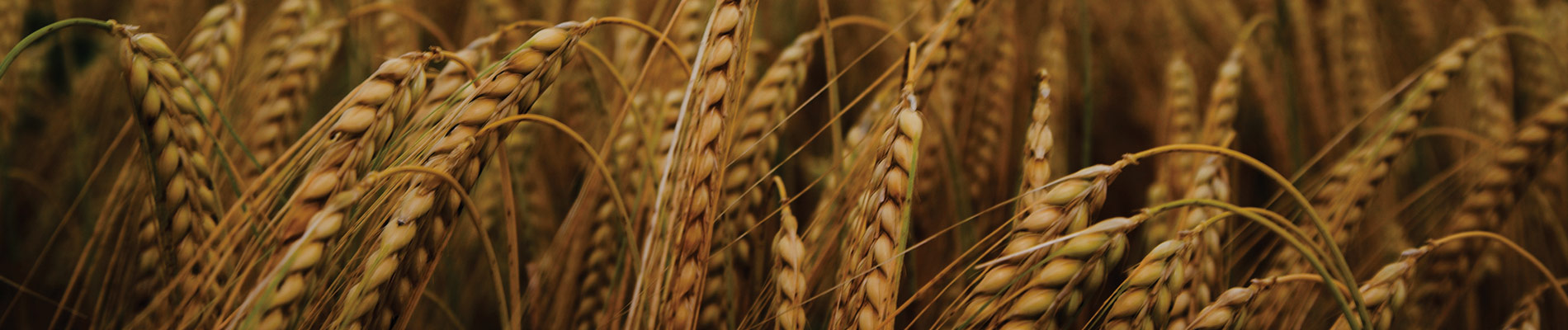 Growing Winter Wheat with SabrEx® – (Updated)
