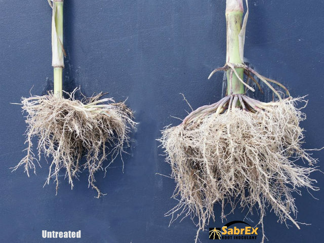 Technical Tips to Ensure Success with SabrEx IN-FURROW